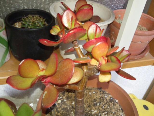 カネノナルキ(花月)紅葉