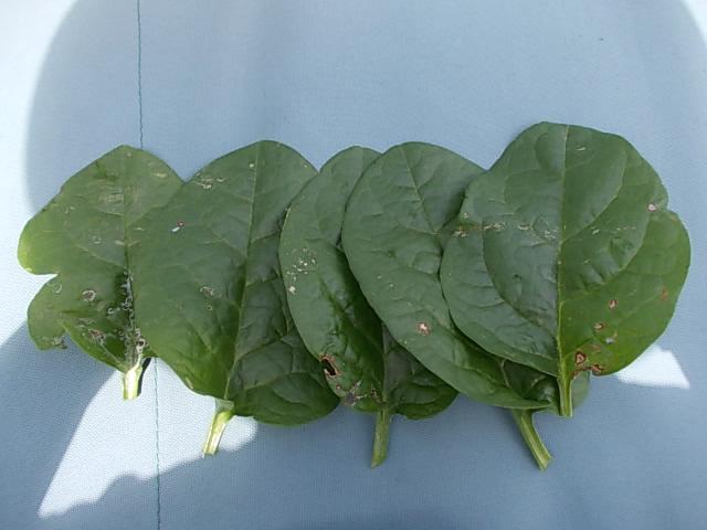 ツルムラサキ初収穫20120715