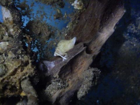 深海性貝14 水深350mの沈木の生体 熊野灘