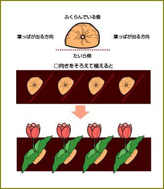 チューリップ 植え方