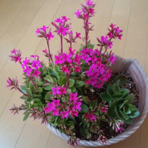 カランコエ 花