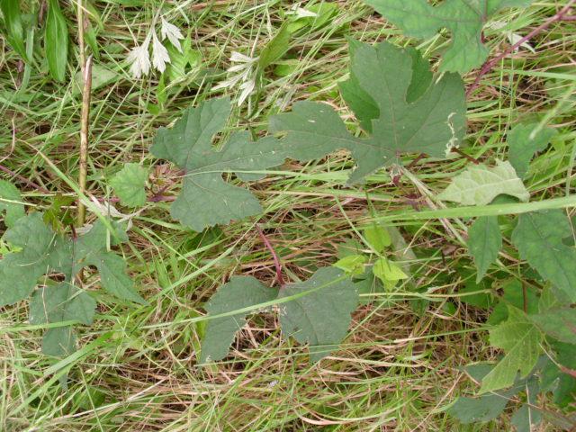 大きい畑そばのエビヅルそばのノブドウ20120626