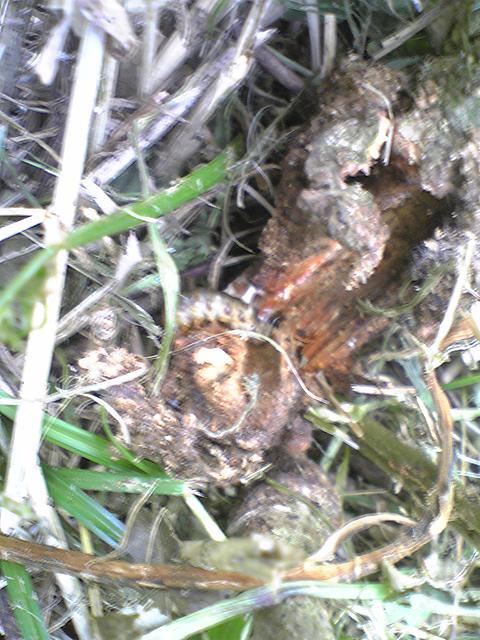 たぶんカミキリムシの幼虫20120710