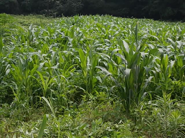 三尺ソルゴーと緑肥とうもろこし20120726