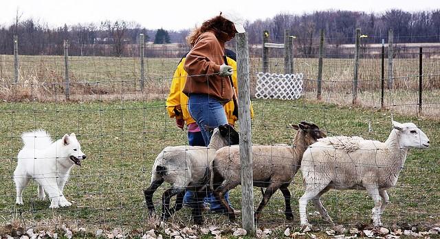 0415 Windy SheepHerding02.jpg