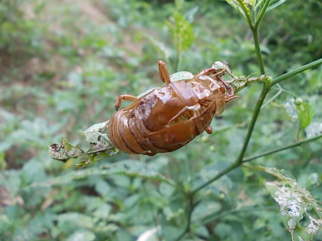 小さい畑の蝉の抜け殻20120717