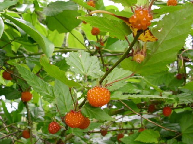 木苺2 20120520