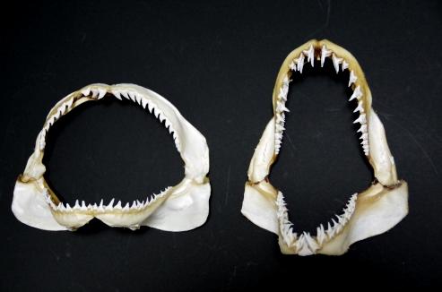 アオザメの画像 p1_30