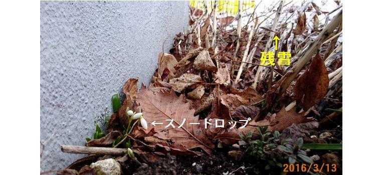 3/13スノードロップが咲いた.jpg