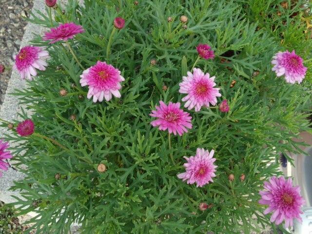 1月25日真冬にも関わらず開花中のマーガレット