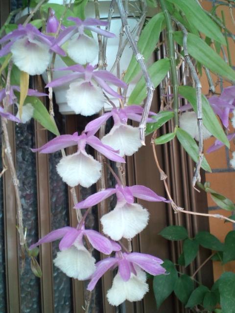 Den. aphyllum 20120611