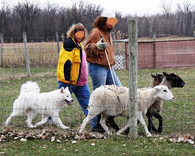0415 Windy SheepHerding01.jpg