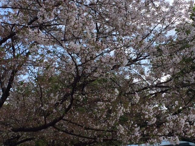 桜__ 1.JPG