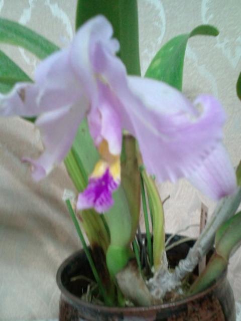 C. gaskelliana 20120615