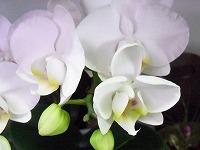 12月18日の誕生花 コチョウラン(白)の花言葉「厳粛な愛」、胡蝶 ...