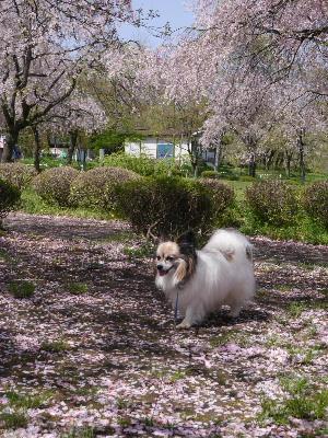 羊山公園15.JPG