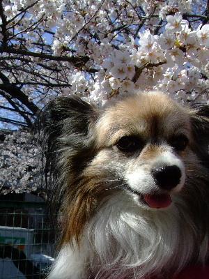 2012桜祭り5.JPG