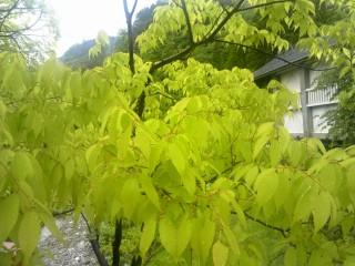 新緑(270516).jpg