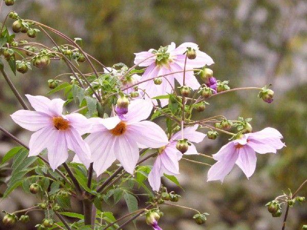 キダチダリアの画像 p1_26