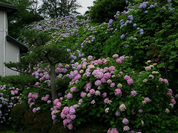 12,06,25丹後ヶ谷せみ公園あじさい-5.jpg