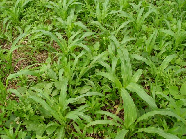 緑肥用とうもろこし20120703