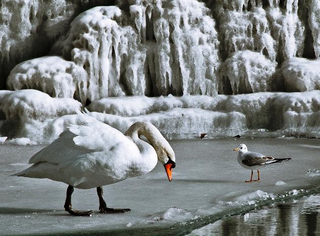 +0220 Geneva swan.jpg