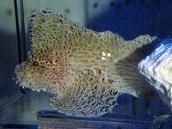 ヒョットコオコゼ7 Cocotropus larvatus