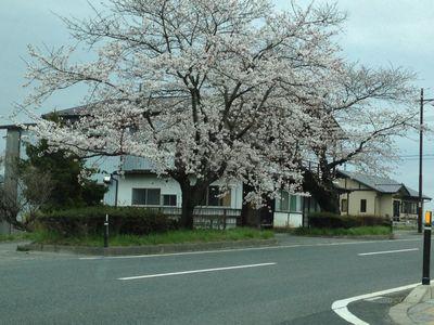 20130424平泉桜1