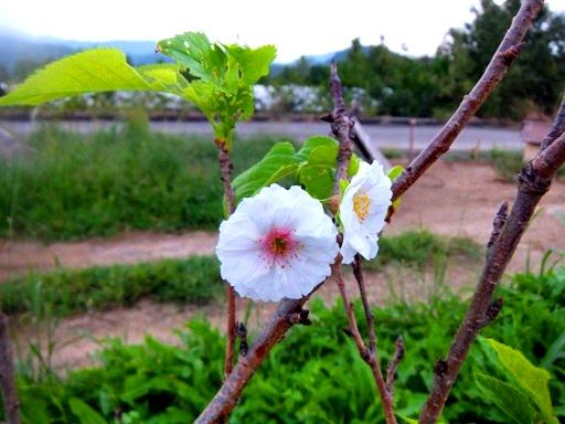 季節外れの桜.jpg