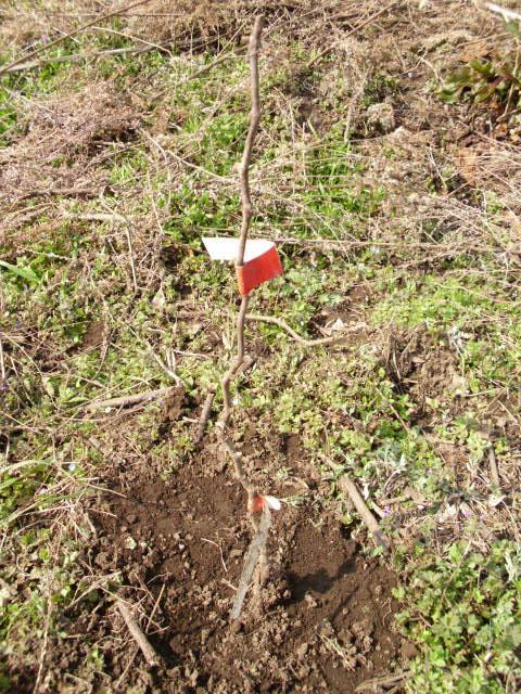 昨日植栽したビジュノワール20120309