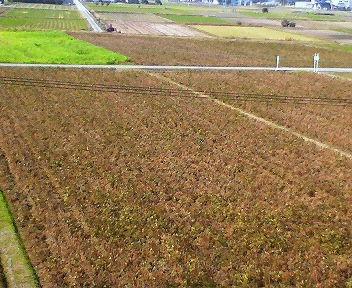 まるで枯れてしまったようにさえ見える大豆の畑