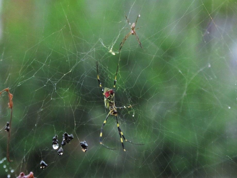 ジョロウグモの画像 p1_33