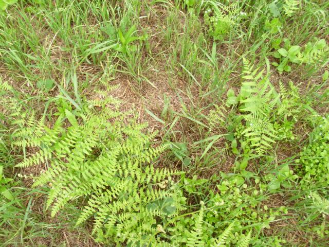 大きい畑の旧おかぼ区画20120611