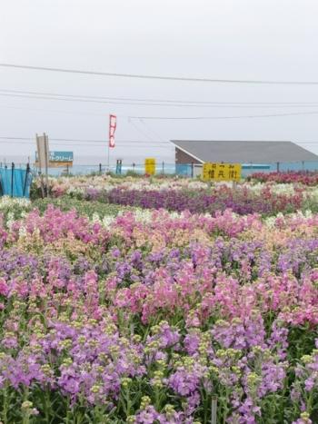 白間津の花畑