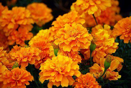 11月5日の花言葉はマリーゴールドで「友情 生きる」です。