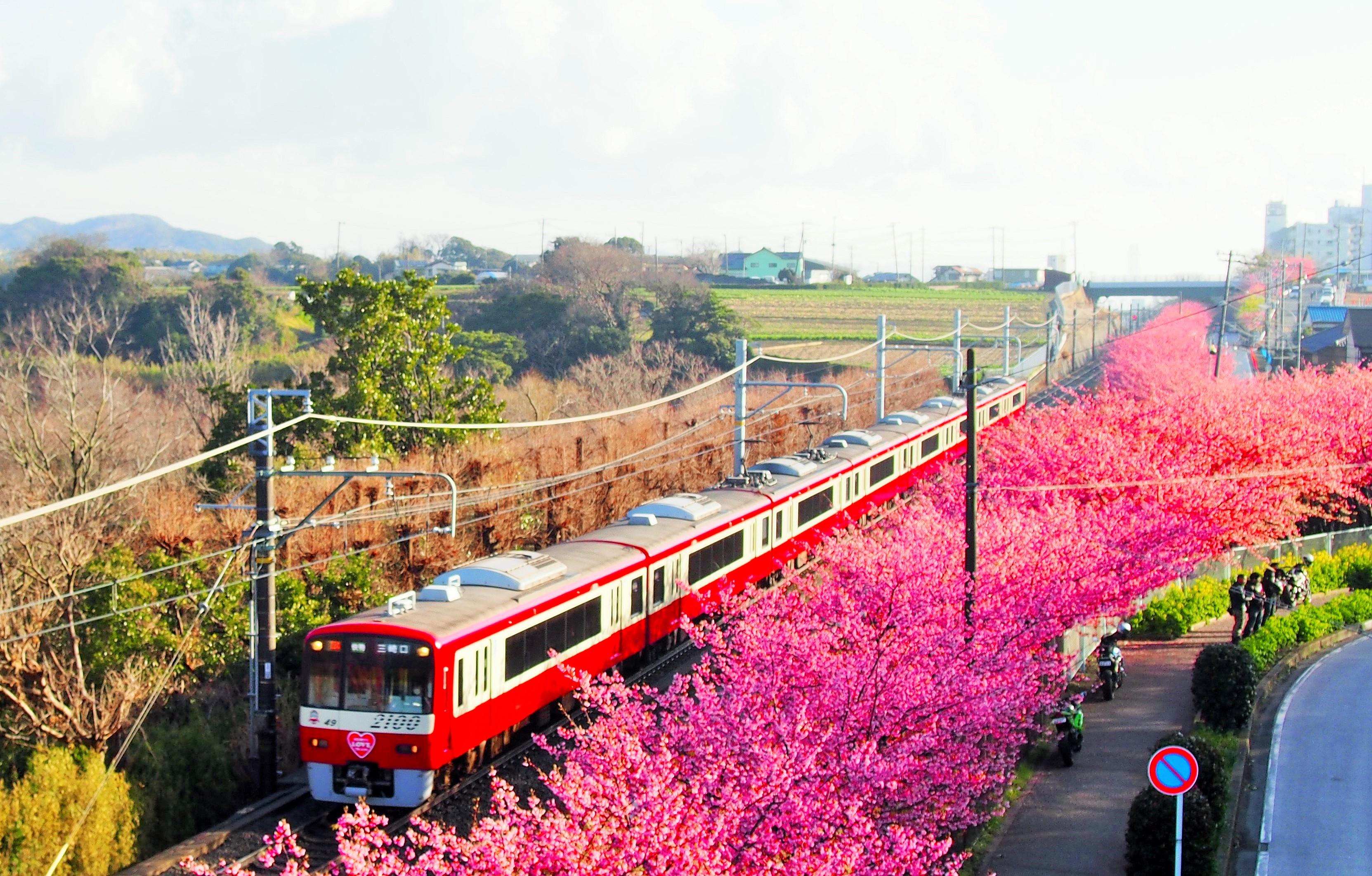 河津 桜 三浦 海岸 2021 三浦海岸の河津桜(カワヅザクラ)2021年の見頃と現在の開花状況は?...