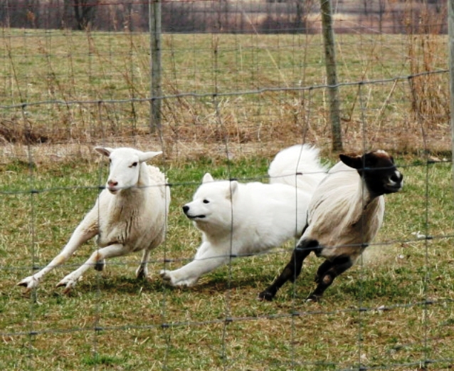 0415 Windy sheep.jpg
