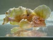 ロングフィンベルベットフィッシュ(Pseudopataecus taenianotus)1 Longfin velvetfish
