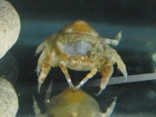 サンゴヤドリガニ科(Cryptochiridae)の種 クボミサンゴヤドリガニ属(Fizesereneia)の疑い7