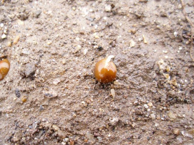 ヘアリーベッチ種20120301