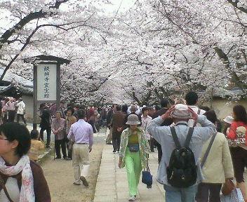 醍醐寺の桜は満開、人出も満開・・・。