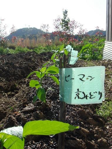 夏野菜の苗.jpg