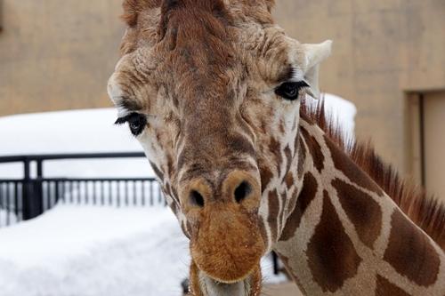 Giraffe Asahiyama zoo
