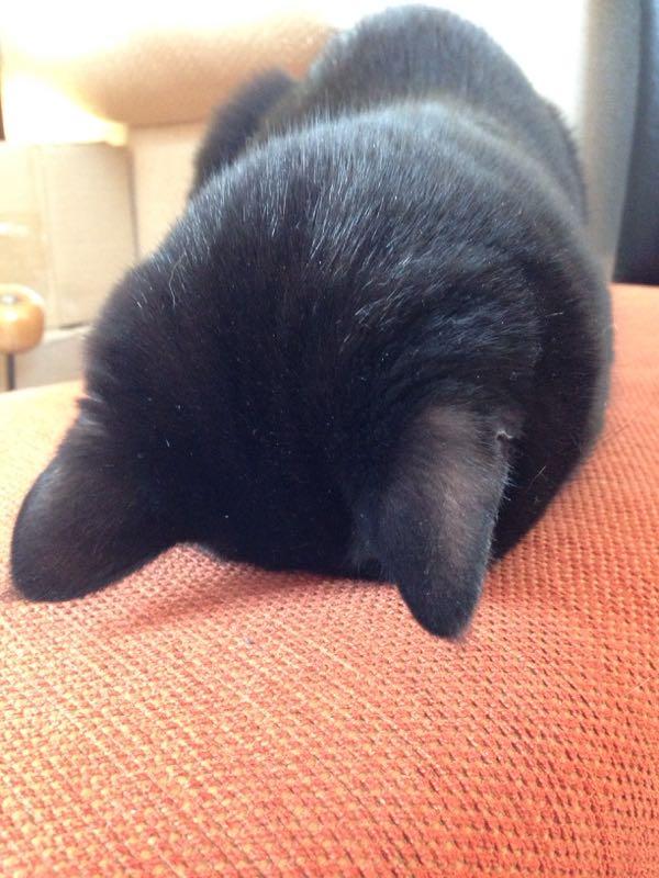 黒猫の後頭部