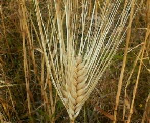 大麦.jpg