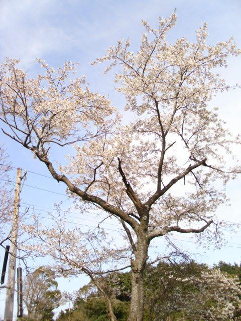 大きい畑の桜20120406