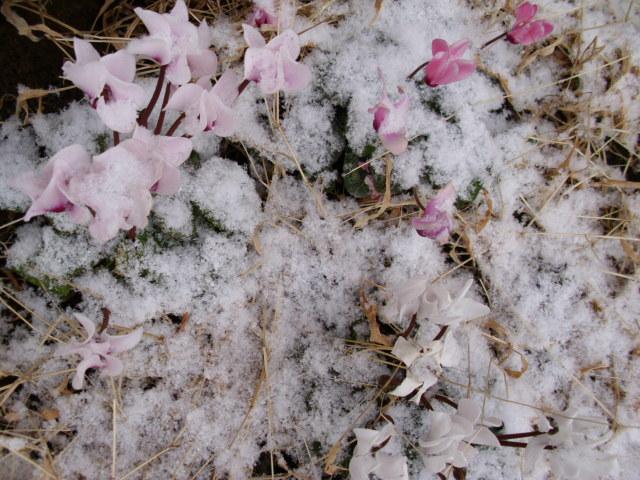 ガーデンシクラメン20120202