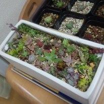 多肉植物 カット苗 寄せ植え