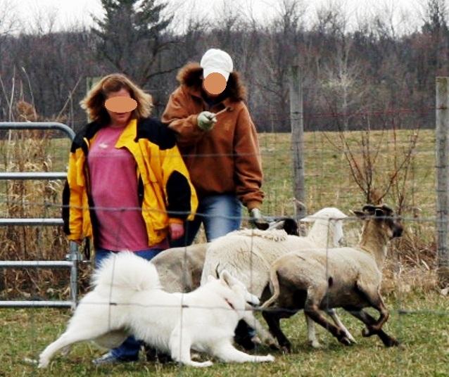 0415 Windy SheepHerding.jpg