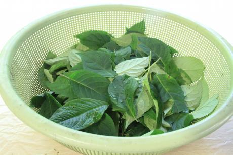 甘茶の作り方と飲み方   自然生...